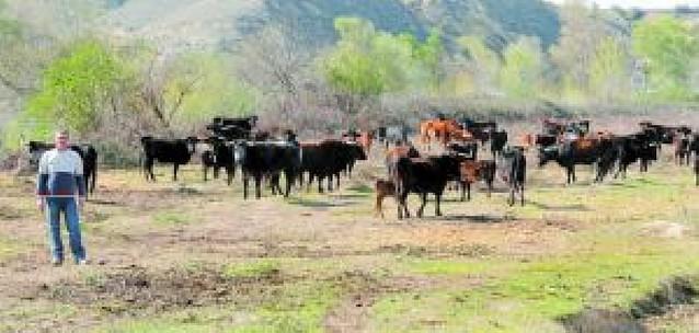 Las vacas de Falces se preparan para el Pilón