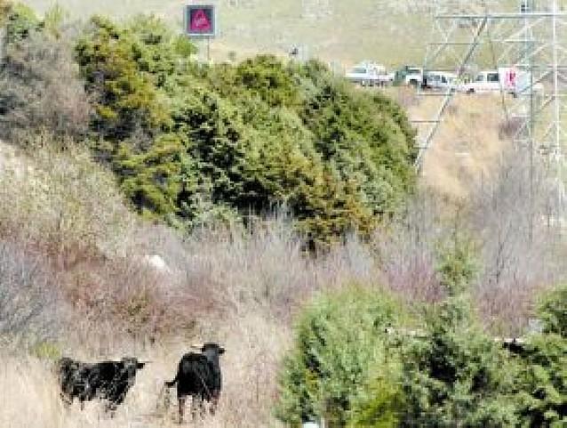 Una docena de toros invade una autopista en Segovia