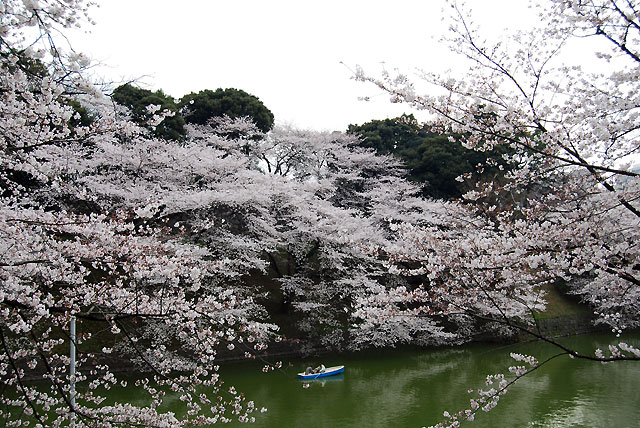 Muchos litros de sake y cerveza ambientan el sakura en Japón