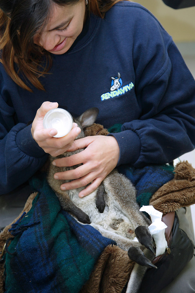 Críado con biberón un canguro en Senda Viva tras ser rechazado por su madre