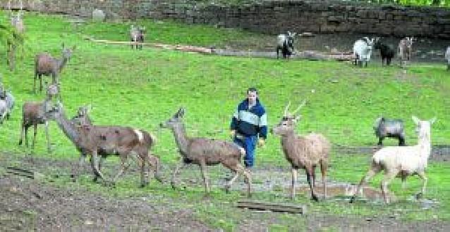 El Ayuntamiento volverá a reducir la población de ciervos de la Taconera