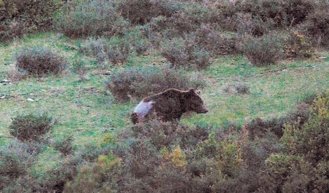 """El oso """"Camille"""" reaparece visiblemente enfermo y los guardas temen por su vida"""