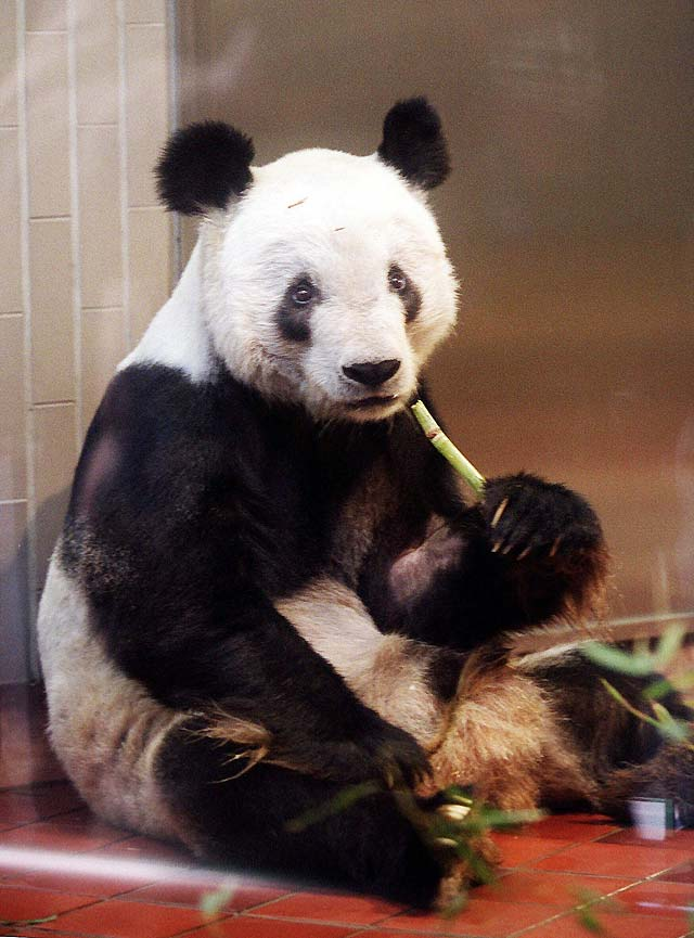 Muere Ling Ling, el oso panda viajero del zoo de Tokio