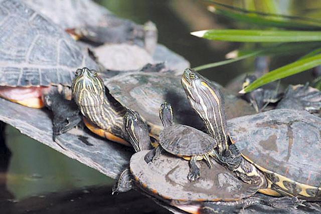 Tortugas mascota en busca y captura