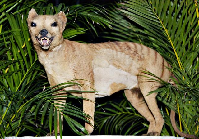 Investigadores resucitan un gen del extinguido tigre de Tasmania
