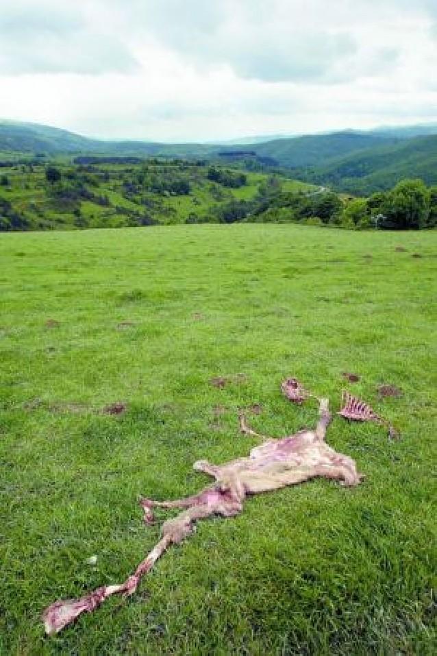 Denuncian al menos 7 ataques de buitres a animales vivos en el Pirineo en una semana