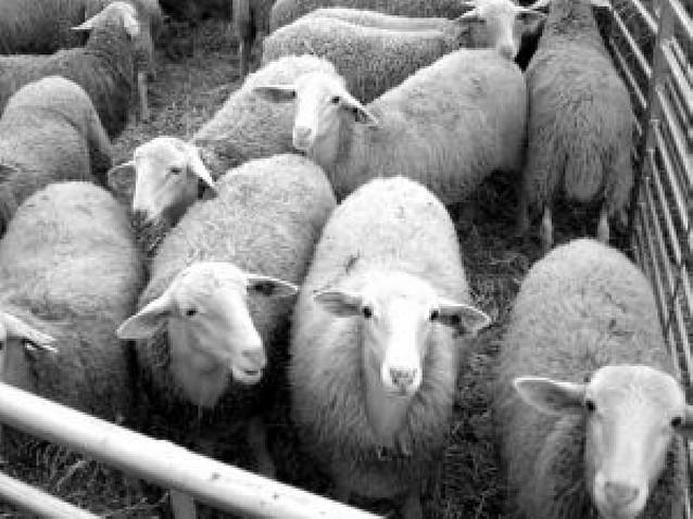 Tafalla subastará virtualmente el ganado ovino en las ferias de octubre