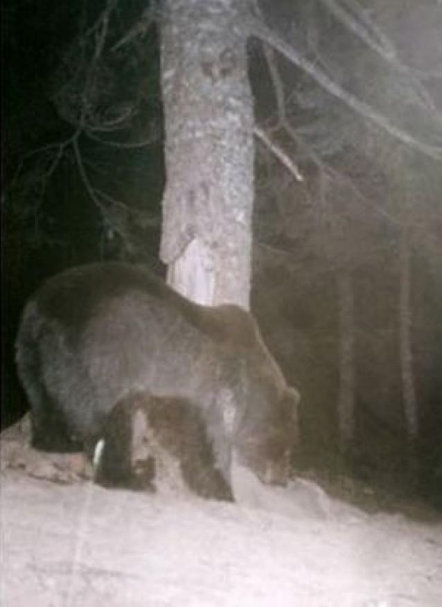 """""""Camille"""" dormirá en la osera tras matar 30 ovejas en 2008 y el esloveno """"Neré"""" cruza a Ansó"""