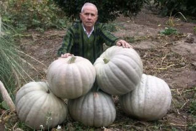 Una docena de calabazas de 40 kilos en Cascante