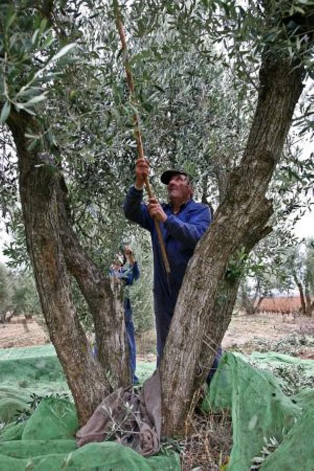 Los nueve trujales de la Ribera molturarán un 36% más de oliva que la pasada campaña