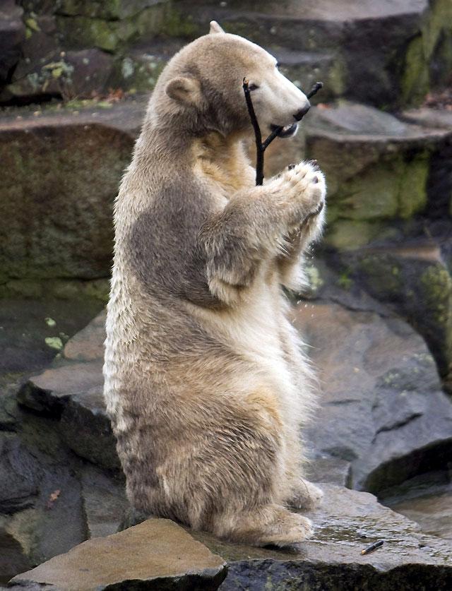 """Los ciudadanos de Berlín le cantan """"cumpleaños feliz"""" al oso Knut"""