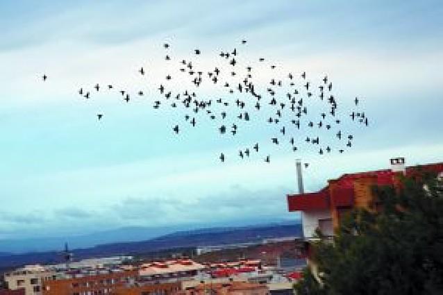 Tudela reduce la plaga de estorninos gracias a las medidas aplicadas en los últimos cinco años