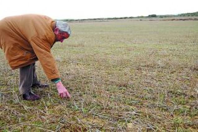 Agricultores de Pitillas perderán parte de la cosecha por unas semillas que no germinan
