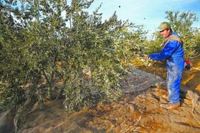 La campaña de la oliva en la merindad apura los últimos días rozando cifras récord