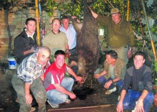 139 kilos de jabalí