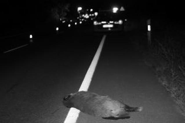 El jabalí fue el animal que más accidentes provocó en las carreteras de la Ribera en 2008