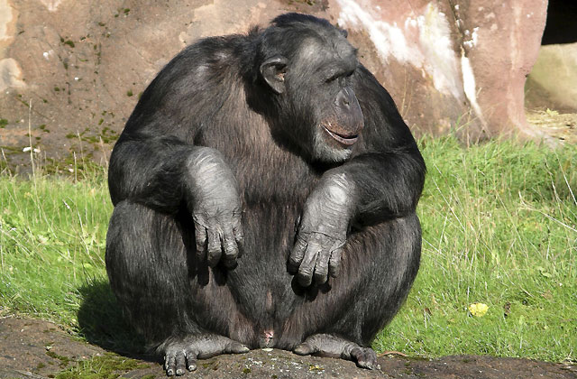 Los chimpancés pueden ser malintencionados y hacer planes de futuro