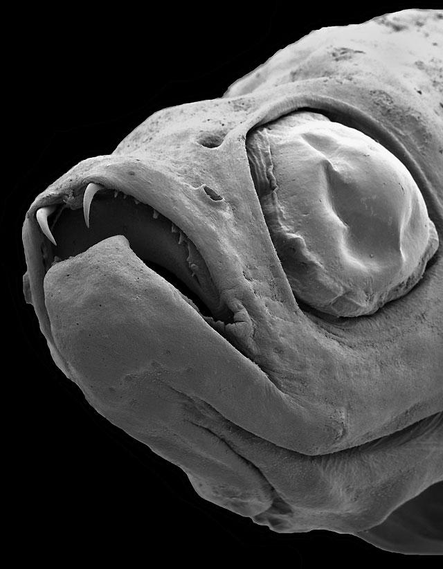 Descubren una nueva especie de pez diminuto con dientes como los de Drácula