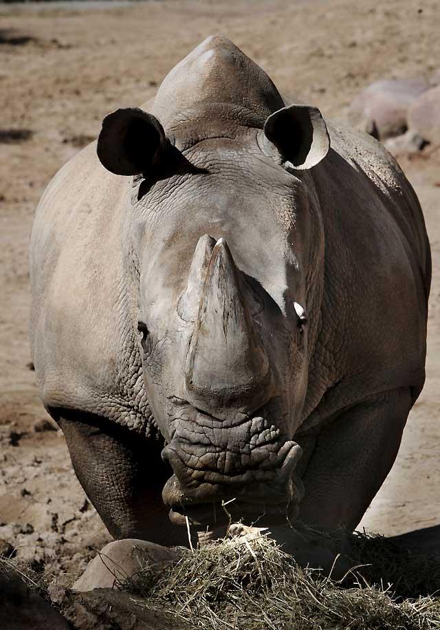 El zoo de Madrid acogerá el nacimiento del tercer rinoceronte del mundo por inseminación artificial