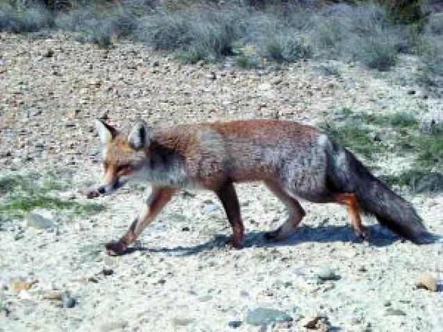 El zorro que no tenía miedo