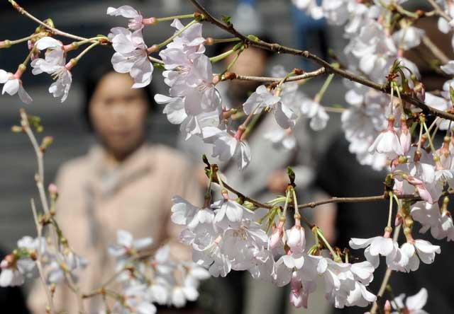 Comienza la temporada de floración de los cerezos en Tokio