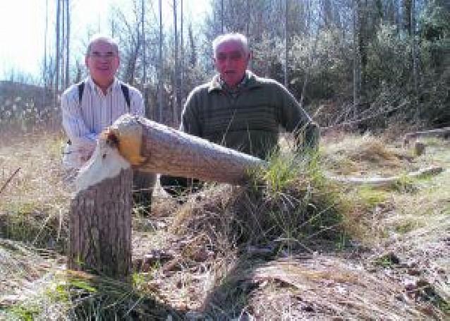 Una colonia de castores destruye hasta 70 chopos junto al río Irati en Lumbier
