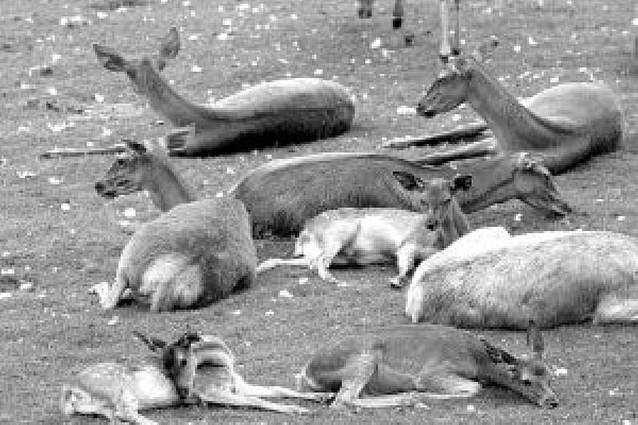 El Ayuntamiento sacrifica tres ciervos enfermos del minizoo de la Taconera