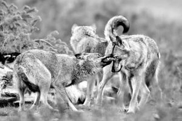 Los lobos que cautivaron al Godó