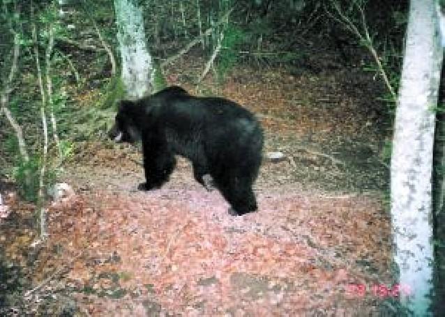"""Medio Ambiente confirma el primer ataque a ganado del oso """"Neré"""" en Navarra"""