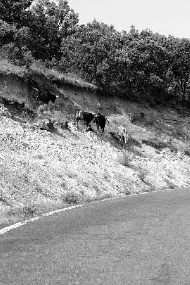 Medio centenar de vacas bravas sueltas en Ujué merodea junto a la carretera