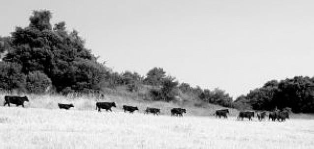 El dueño del medio centenar de vacas que siguen sueltas en Ujué será sancionado