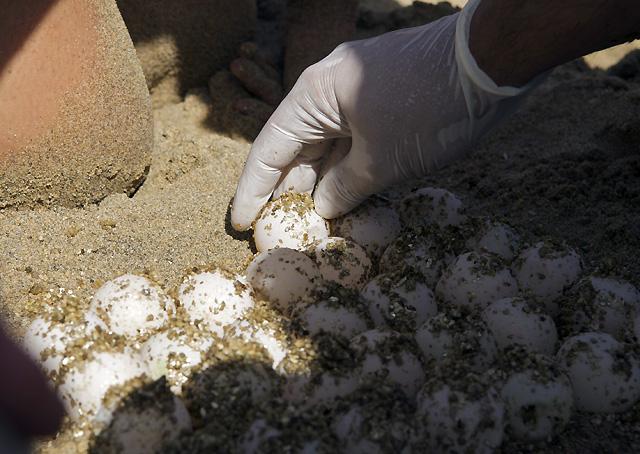Entierran en Fuerteventura 800 huevos de tortuga boba para su nidificación